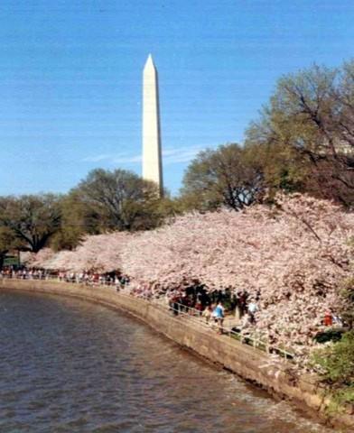 D.C. Cherry Blossoms landscape