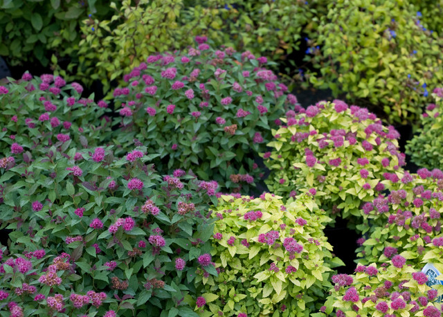 Double Play 174 Spirea Traditional Landscape