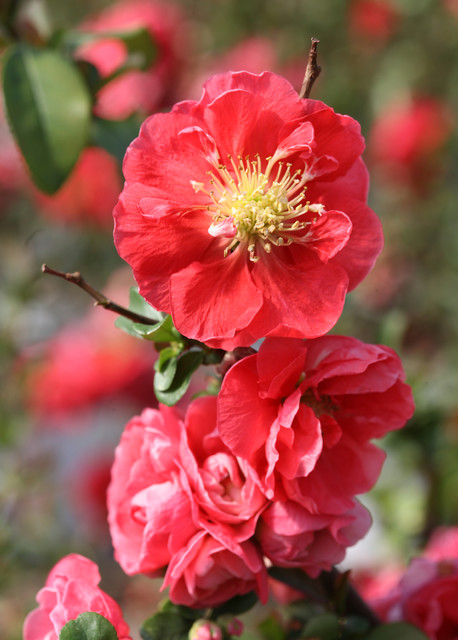 Double Take™ Pink Storm Flowering Quince