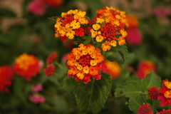 Give Wildlife and Your Garden a Colorful Boost With Lantana Plant