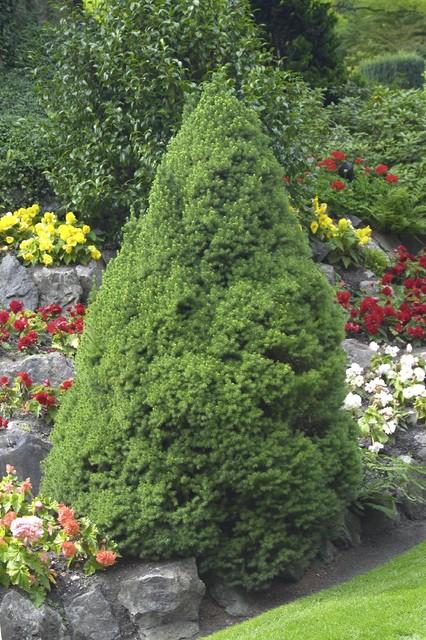 Dwarf Alberta Spruce traditional-landscape