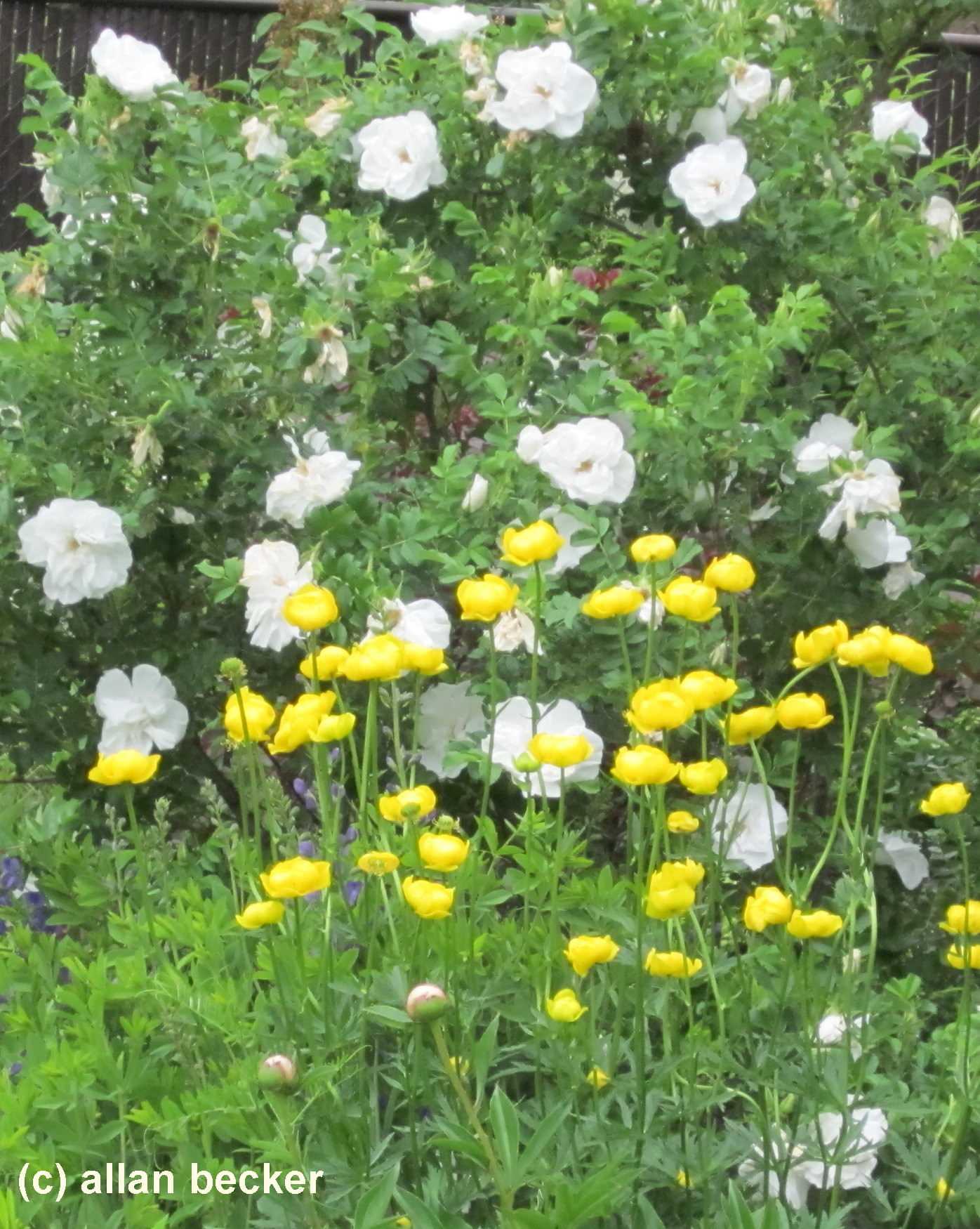 Early summer flowering
