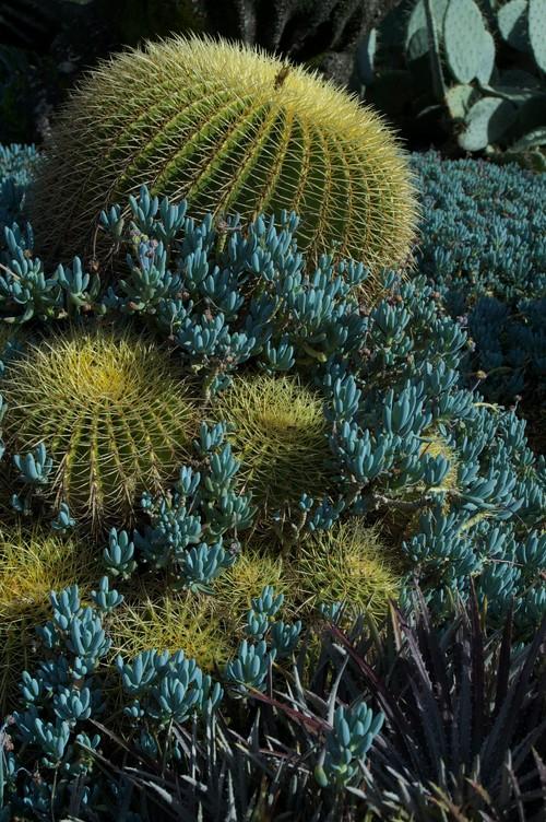 Echinocactus + Sedum serpens