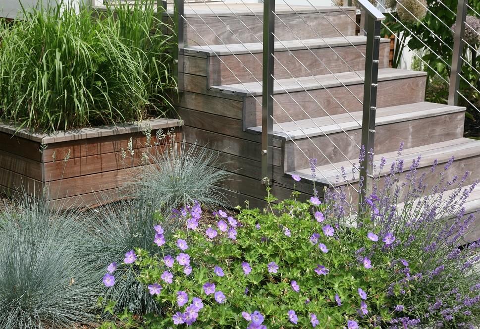 Elijah blue fescue, Rozanne geranium, Lavender Munstead at front steps