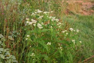 Great Design Plant Common Boneset Helps Good Bugs Thrive