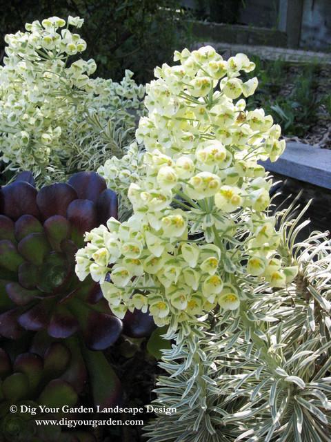 Euphorbia - Plants That Brighten Up The Late Winter/Early Spring Garden mediterranean-landscape