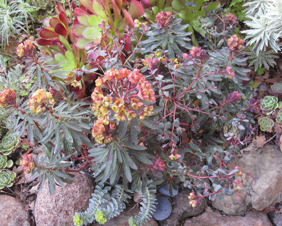 Euphorbia a colorful variety of low water low for Low maintenance colourful plants