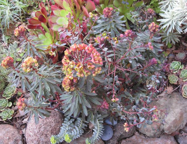 Euphorbia Plants That Brighten Up The Late Winter Garden – Plants for Winter Garden