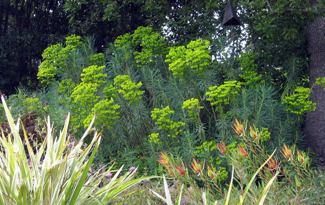 Euphorbia - Plants That Brighten Up The Late Winter Garden mediterranean landscape