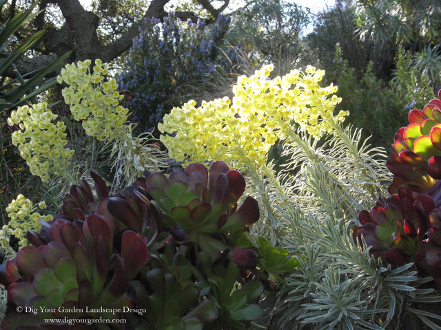 Euphorbia - Plants That Brighten Up The Late Winter Garden contemporary landscape