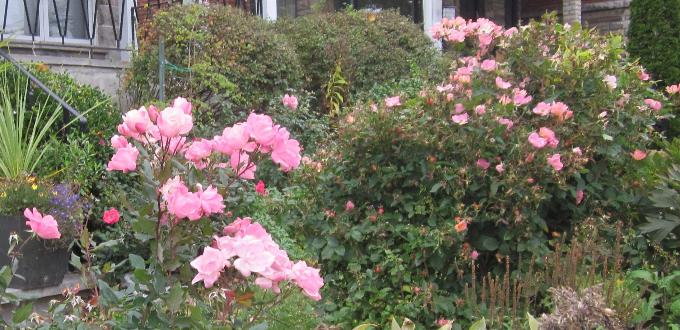 Everyone loves roses - especially when the're easy-care