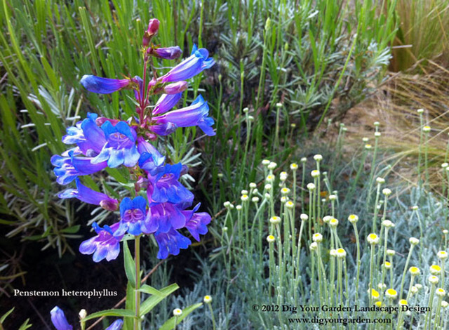 Favorite california native plants i design with for California native landscape design