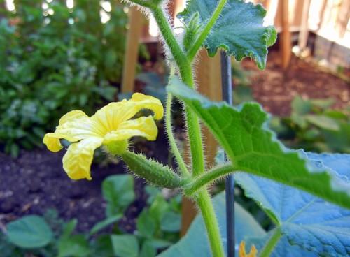 Female Cucumber FLower.JPG