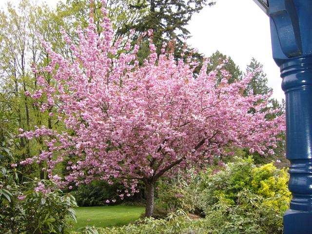 Rboles y arbustos para el dise o de jardines peque os for Arboles decorativos para jardines pequenos