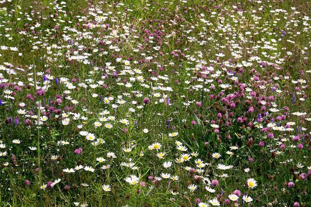 Wildblumenwiese Im Garten Anlegen: 7 Tipps