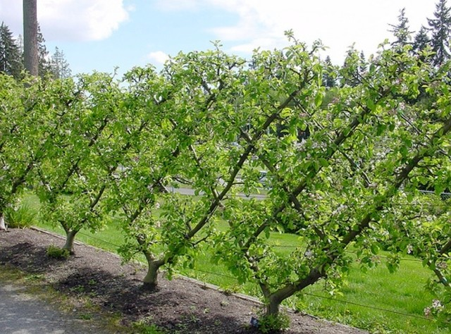 Fruit tree pruning traditional landscape new york for King garden designs