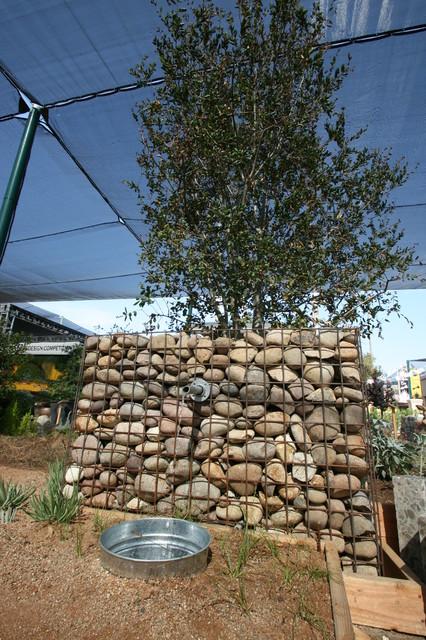 Gabion Basket with Quercus agrifolia contemporary-landscape