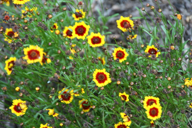 Gardening with Confidence® Coreopsis 'Redshift'.JPG landscape