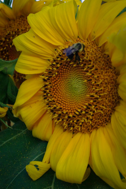 Gardening with Sunflowers eclectic-landscape