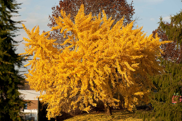Ginkgo Biloba Landscape By The New York Botanical Garden