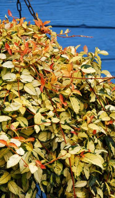 'Gold Brocade' Asian jasmine (Trachelospermum asiaticum 'Gold Brocade') landscape