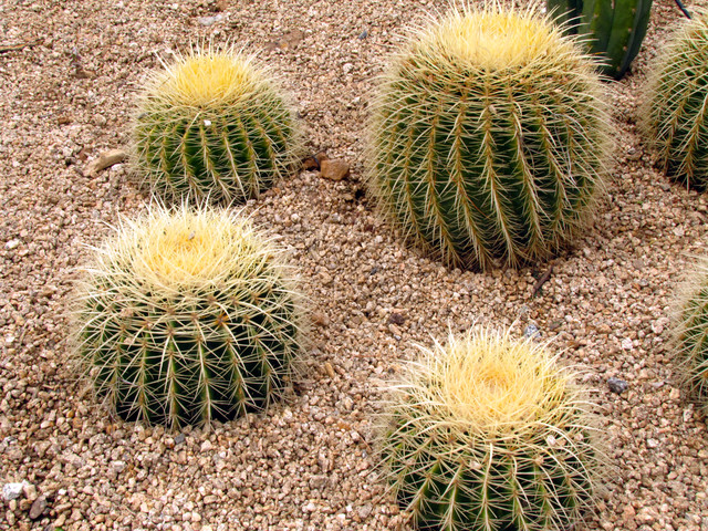 Golden Barrel Cactus Landscape Other