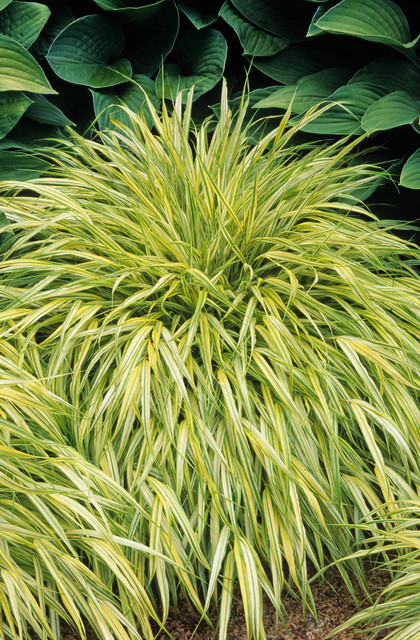 Golden japanese forest grass traditional landscape for Best ornamental grasses for full sun