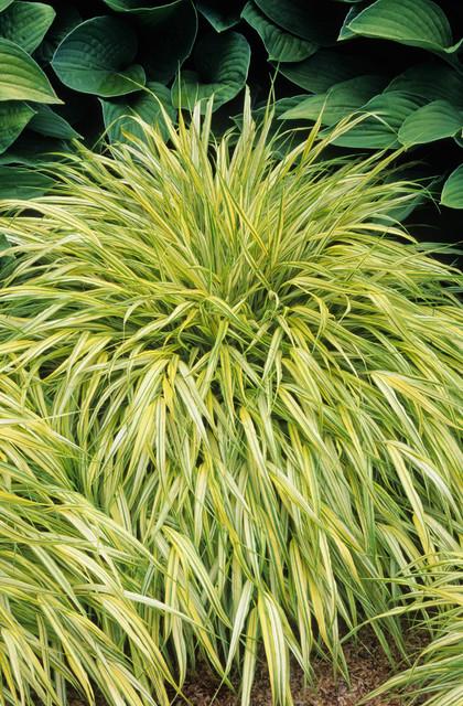 Golden japanese forest grass traditional landscape for Ornamental grasses for sun