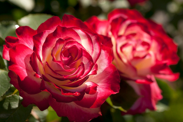 exotic rose colors for a beautifully different garden, Beautiful flower