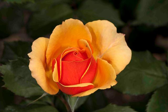 Grandiflora rose traditional-landscape