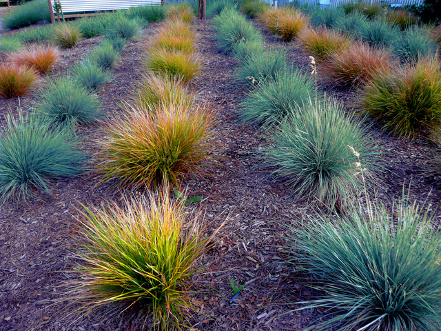 Grasses close up modern landscape san francisco by louise leff - Garden design using grasses ...