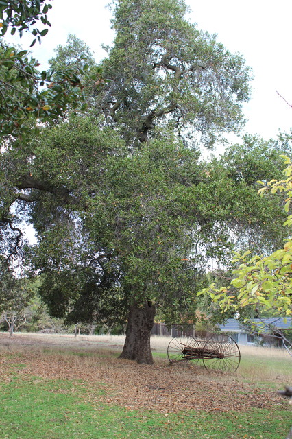 eclectic landscape Great Design Plant: Coast Live Oak
