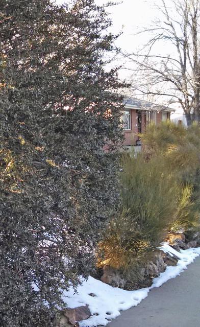 Great Design Plant: Curl-leaf Mountain Mahogany contemporary-landscape