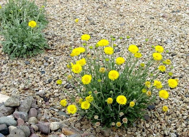 Great Design Plant: Desert Marigold - Landscape - phoenix - by Noelle Johnson Landscape Consulting