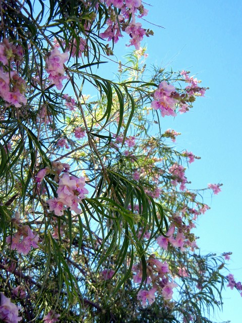 Great Design Plant Paint The Summer Landscape With Desert Willow