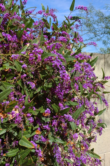Great Design Plant Lilac Vine For A Purple Profusion In