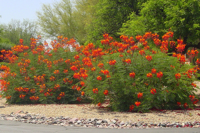 Great Design Plant: Red Bird-of-Paradise landscape