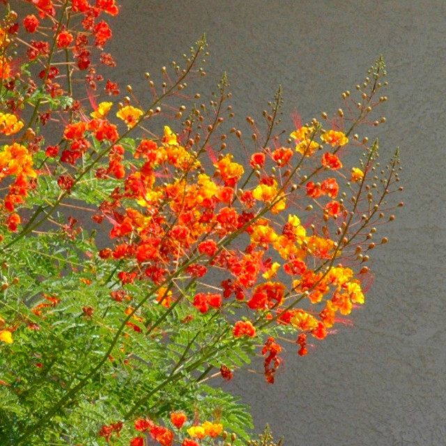 Great Design Plant Red Bird Of Paradise Soars With Color