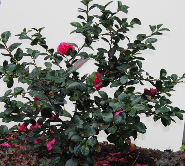 Great design plant sasanqua camellia eclectic - Camelia planta ...