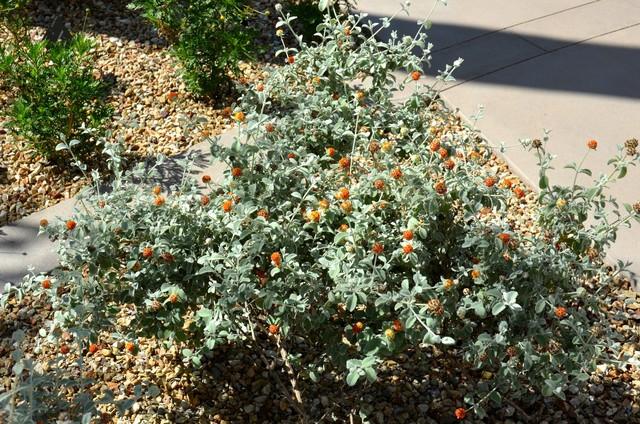 Great Design Plant Woolly Butterfly Bush