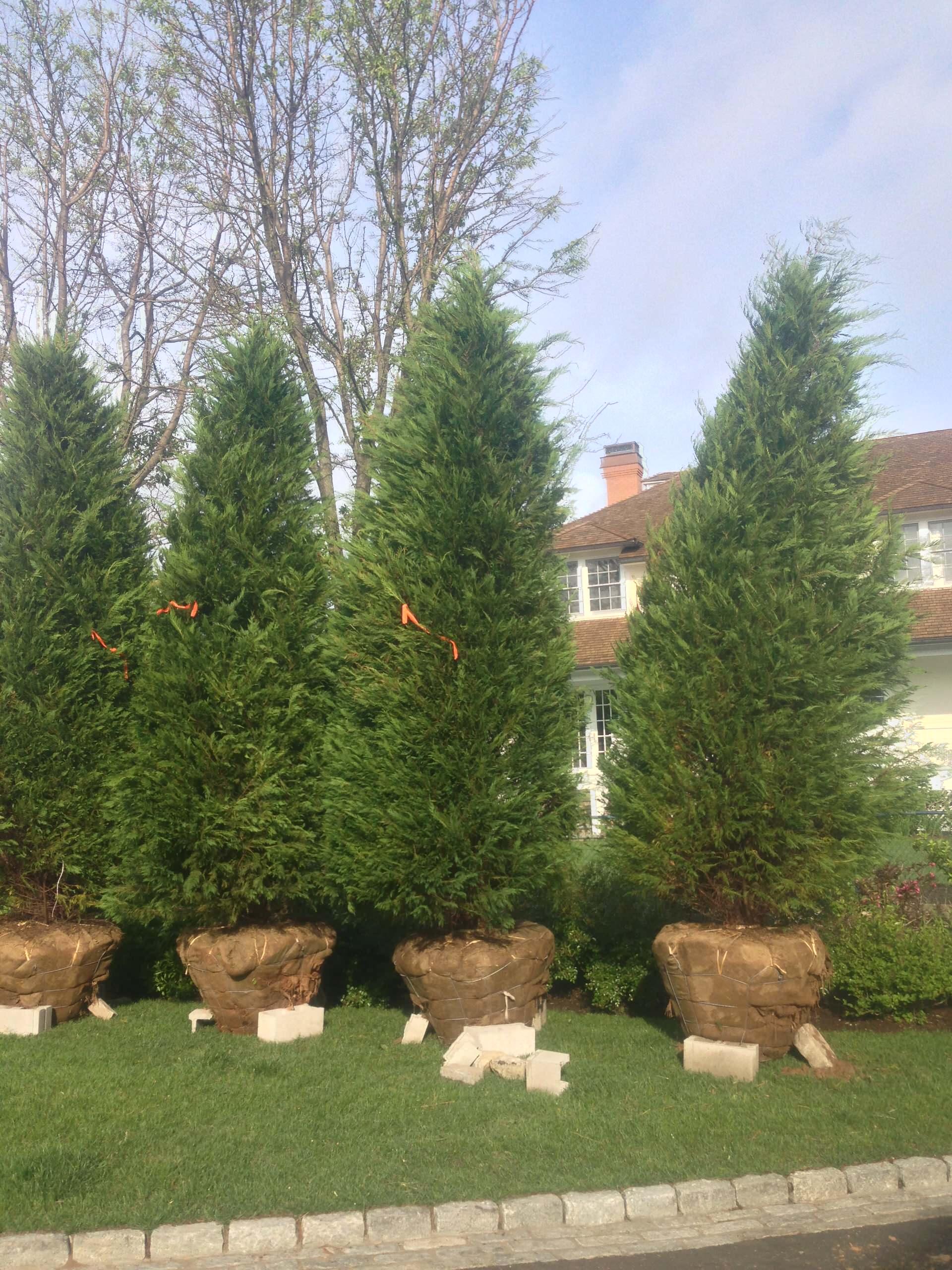 Green Giant Arborvitae for Screening the neighbor
