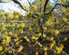 Hamamelis mollis - Chinese Witch Hazel landscape