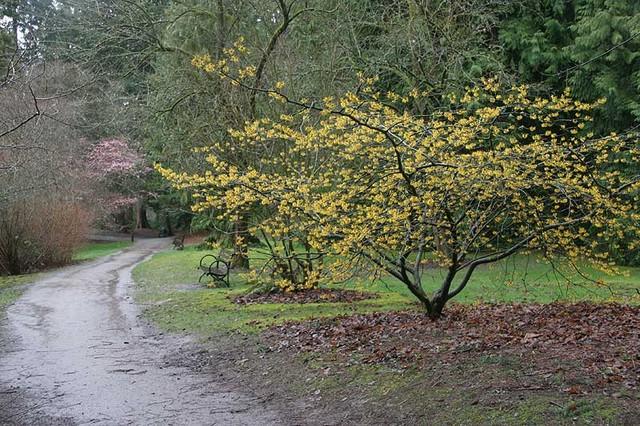 Hamamelis mollis landscape