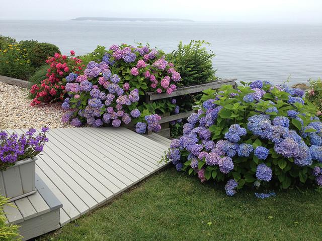 Hamptons hydrangeas beach style landscape new york for Beach landscape design