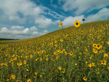 landscape Great Design Plant: Helianthus Petiolaris (3 photos)