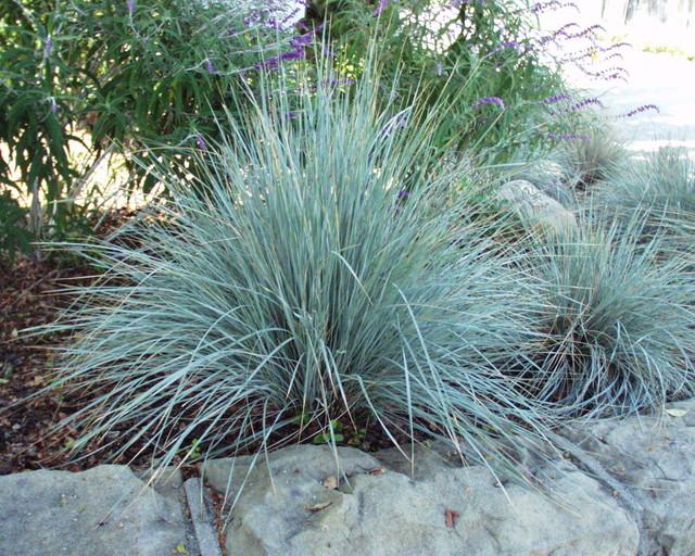 Helictotrichon sempervirens garden