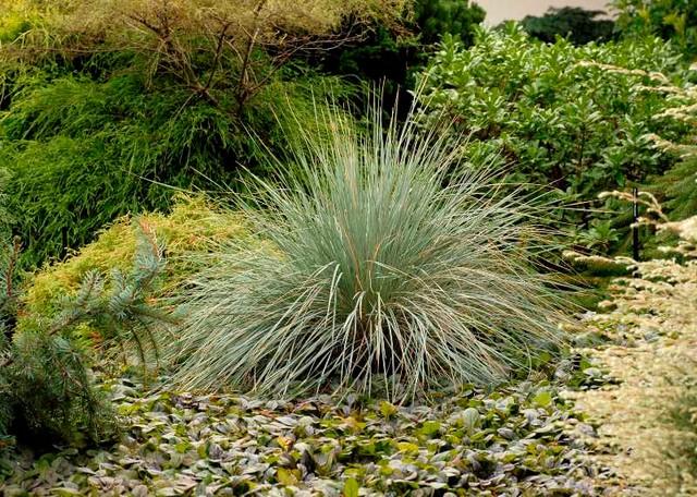 Helictotrichon sempervirens traditional-landscape