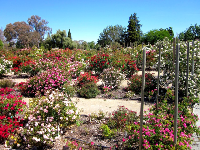 Heritage Rose Garden San Jose Traditional Landscape Other By Mauby Landscape Service