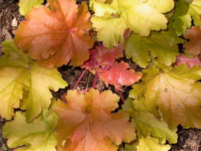 Missouri Botanical Garden. Heuchera U0027Amber Wavesu0027 Traditional Landscape