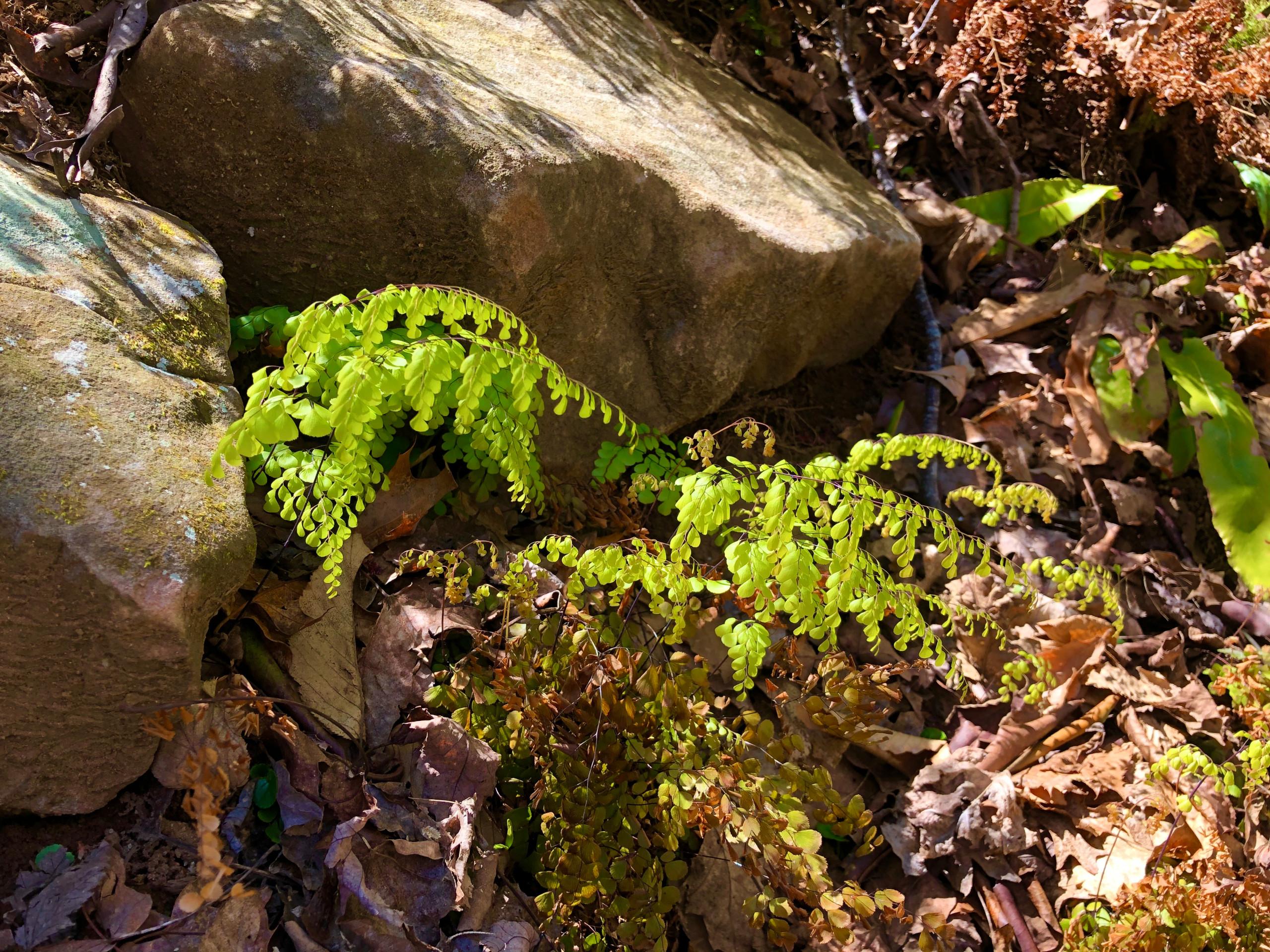 Himalayan maidenhair ferns in spring.